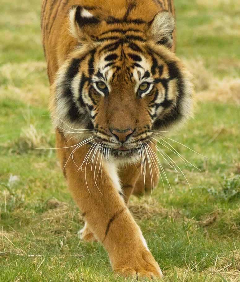 Bengalisk tiger