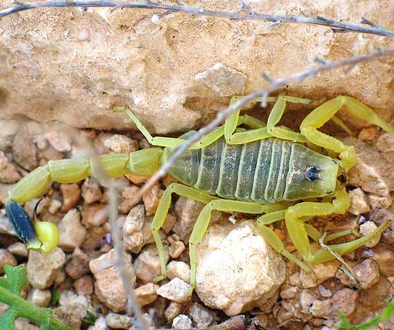 Dödsskorpion, Deathstalker