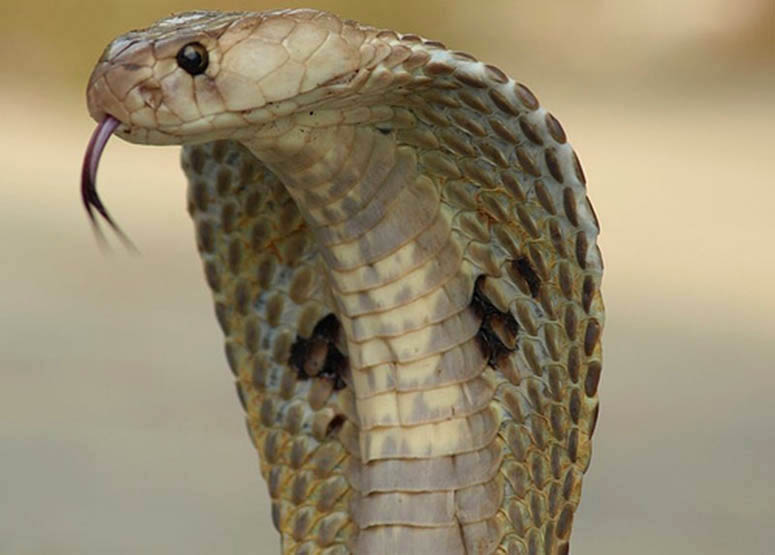 Indisk kobra, även kallad glasögonorm