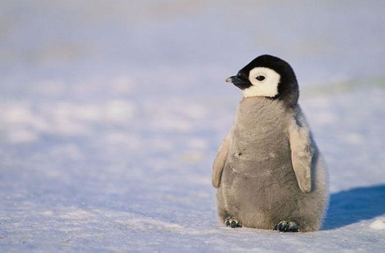 Pingvinunge