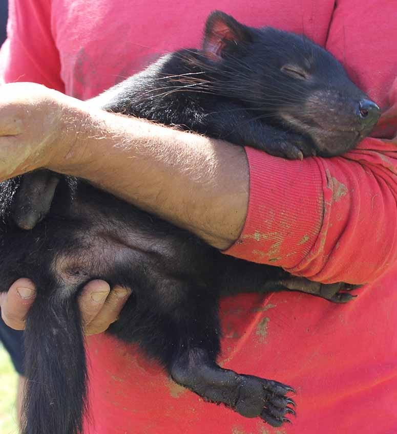 Tasmansk dvävuls unge