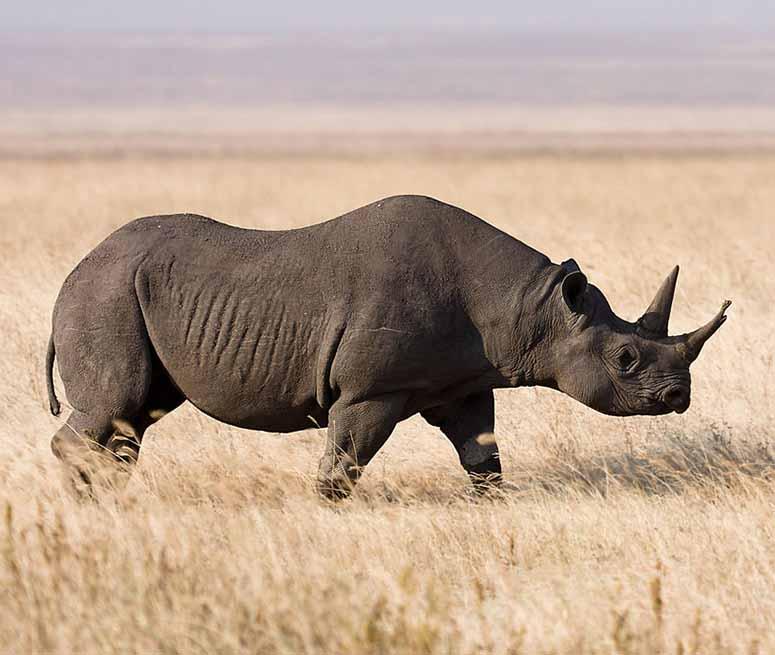 Spetsnoshörning/svart noshörning