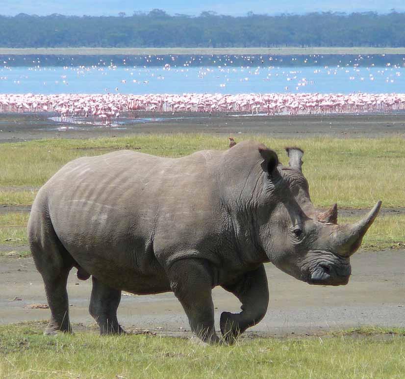 Trubbnoshörning/vit noshörning