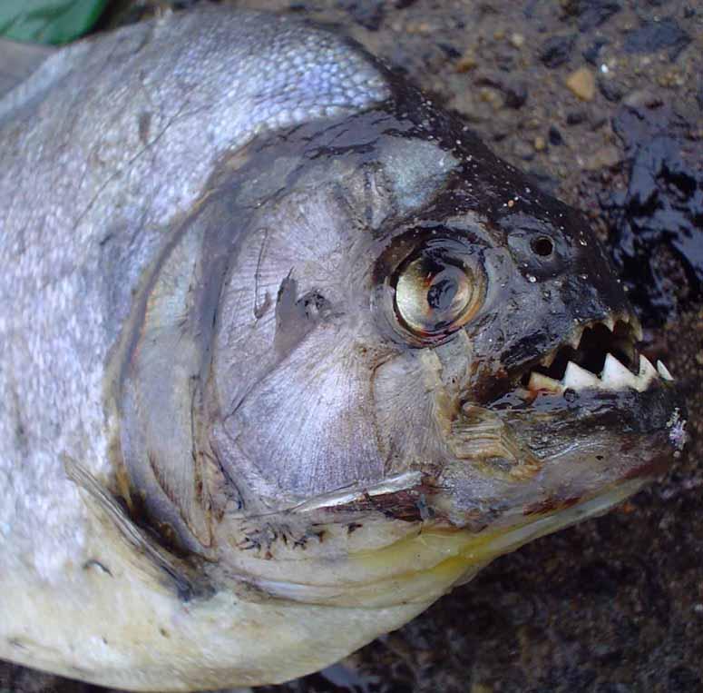giftig fisk sverige
