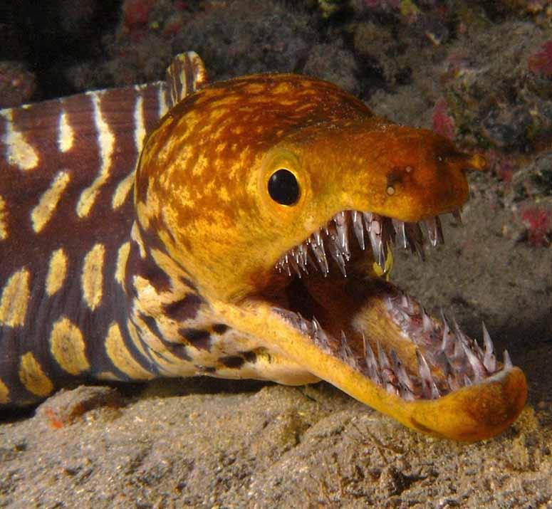 fisk med lampa